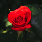 Red Rose for Romance