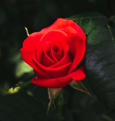 Red Roses Represent Romance